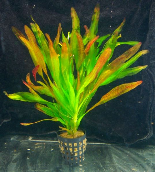 Vallisneria caulescens