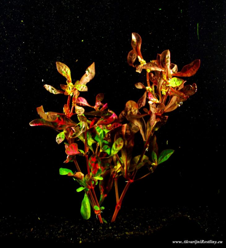 Alternanthera bettzickiana Giant red water rose
