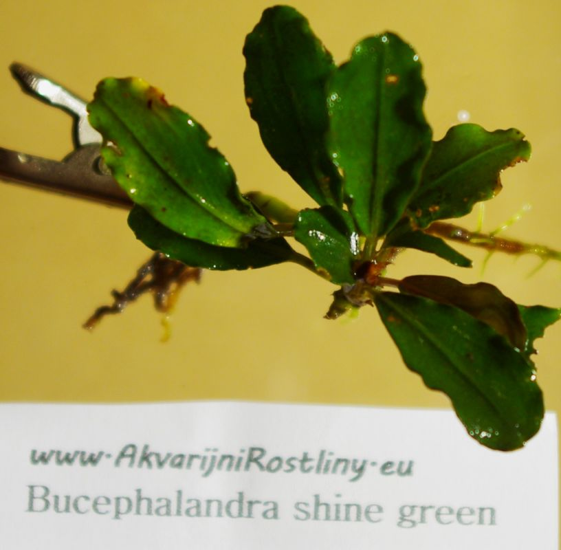Bucephalandra shine green