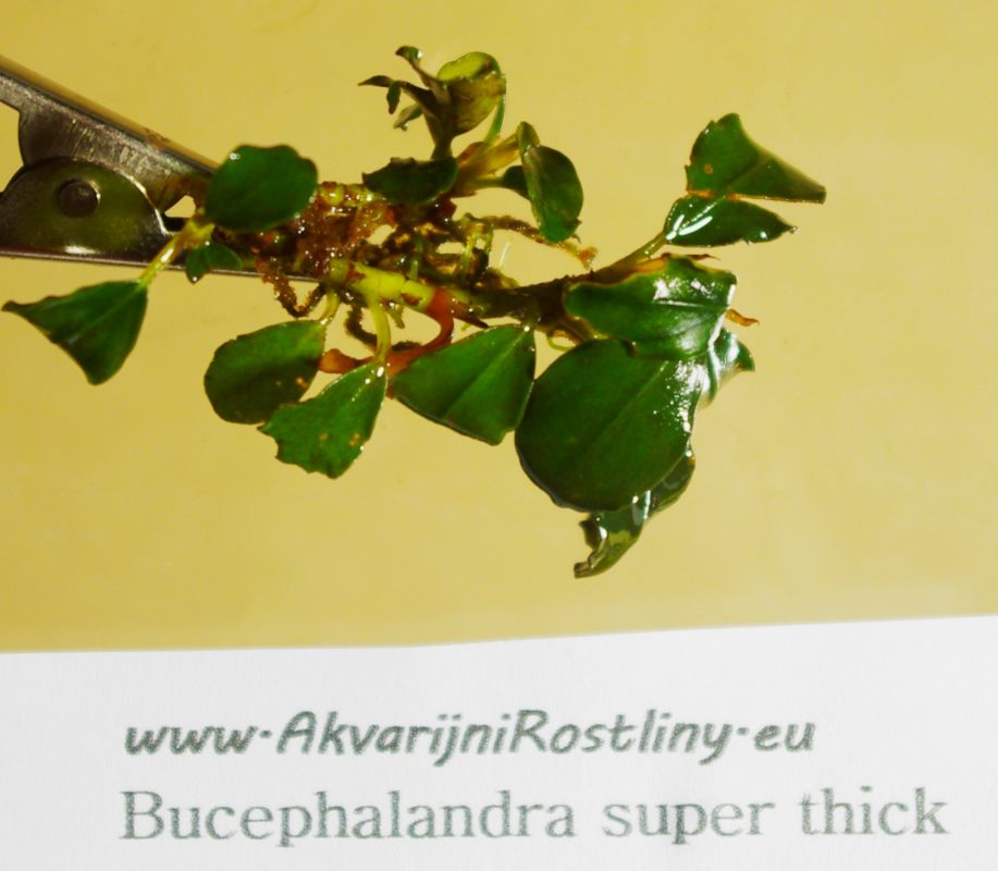 Bucephalandra super thick