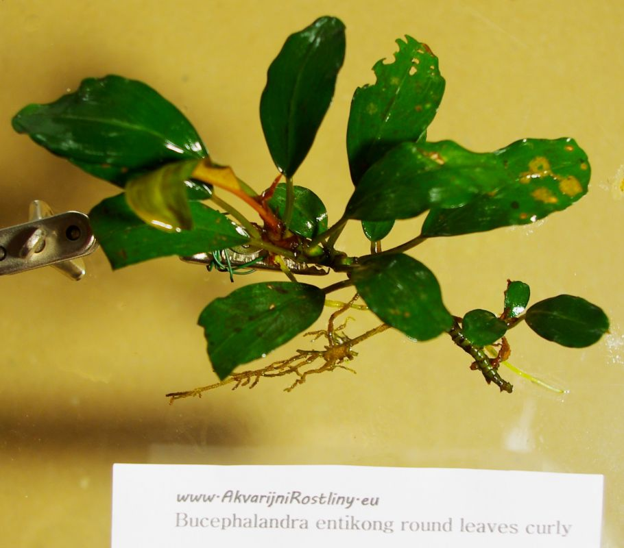 Bucephalandra entikong round leaves curly