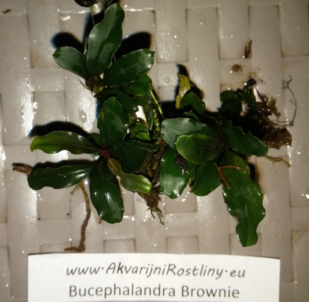 Bucephalandra Brownie