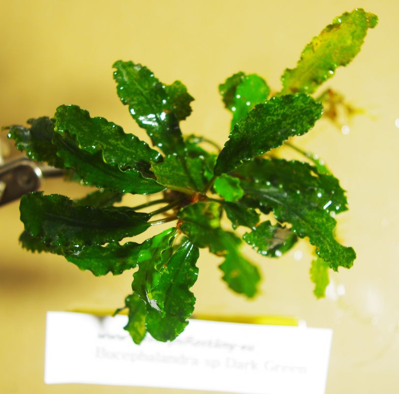 Bucephalandra Dark Green