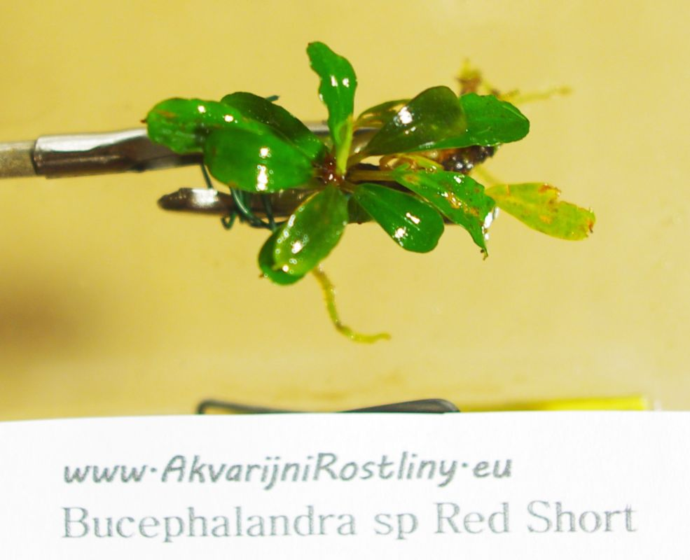 Bucephalandra Red Short