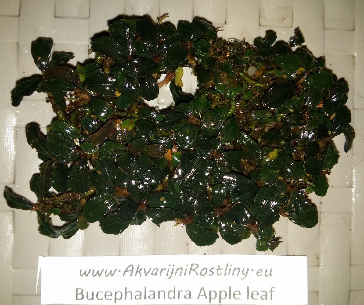 Bucephalandra apple leaf
