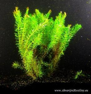 Rotala wallichii Long Leaf