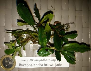 Bucephalandra brown jade