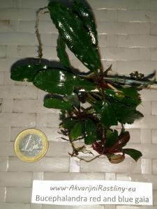 Bucephalandra red and blue gaia
