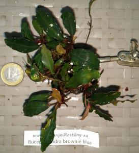 Bucephalandra brownie blue
